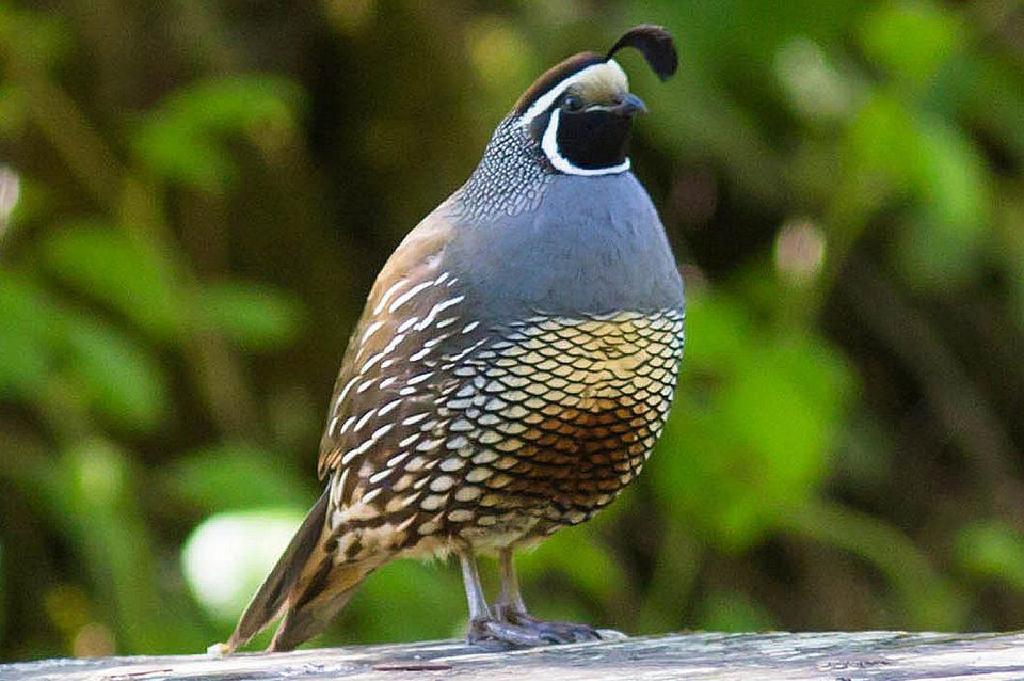 Bagaimana Menarik Quail Birdyard Backyard