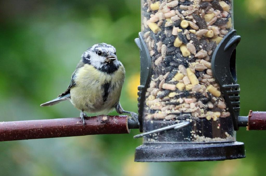 Menarik Burung Ke Backyard Anda Dengan Makanan